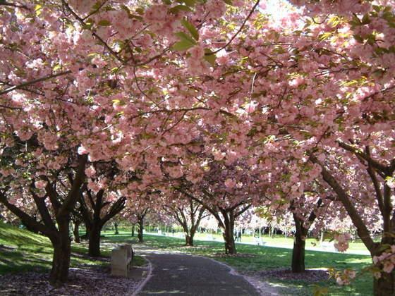 Taken at the 25th Annual Sakura Matsuri Cherry Blossom Festival, Brooklyn Botanic Gardens, 2006. From NYC.com.